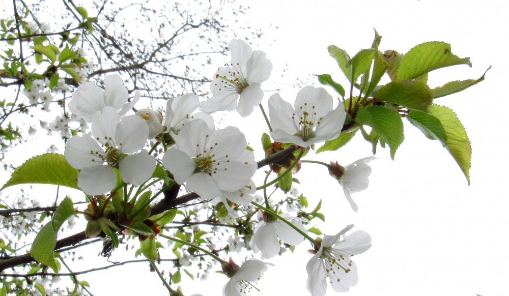 Appelboesem (Louis Weterings)