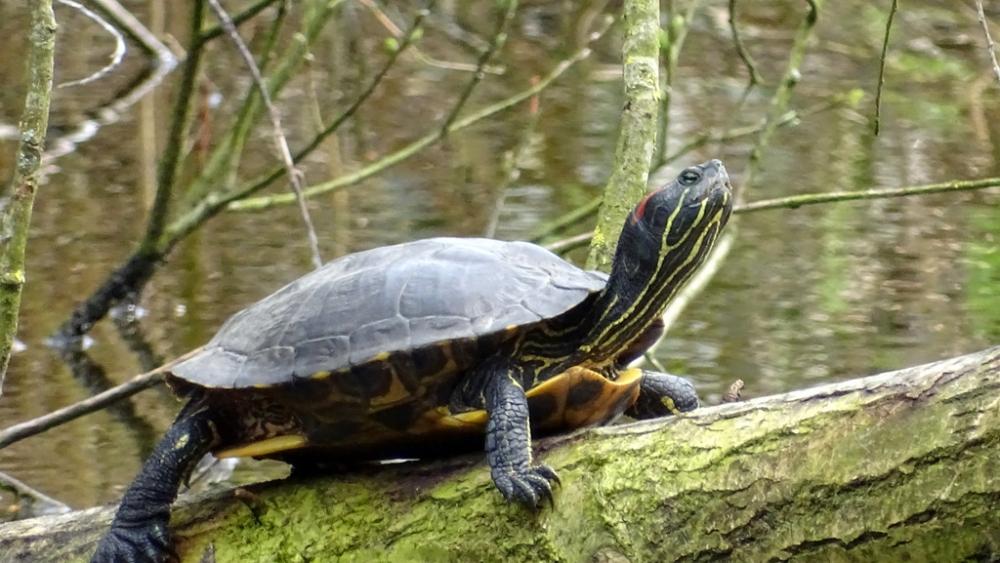 Roodwangschildpad (Ben Pleij)
