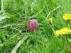 Kievitsbloem (Fritillaria meleagris) (Eric Stockx)