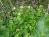 Look-zonder-look (Alliaria petiolata)