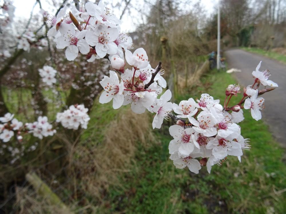 Prunus-cerasifera-Nigrum-Rode-kerspruim-Natuurtuin-11mrt17