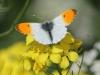Oranjetipvlinder-5