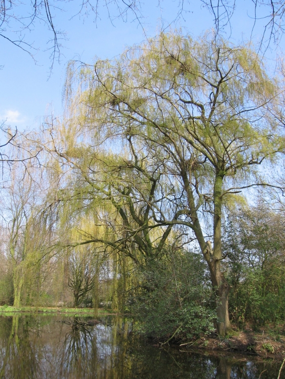 9.-Salix-reigerkolonie-in-wilgen-wegelingenpark-e1554121302129