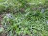 wilde-hyacinth-a