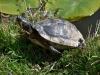 Geelbuikschildpad-2-scaled