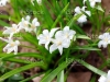 Scilla luciliae in the early spring. White chionodoxa in the spring time. Young bulbous plants.