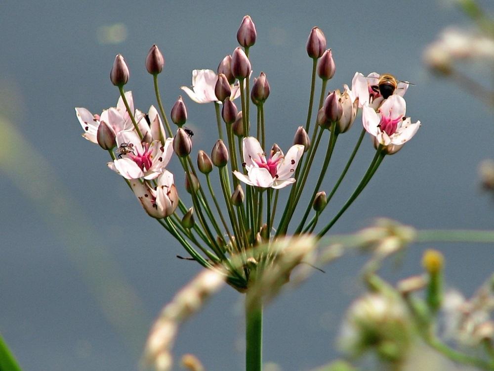 Zwanenbloem (Butomus umbellatus)