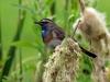 Blauwborst (Luscinia svecica) (Louis Weterings)