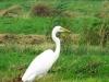 Grote Zilverreiger (Egretta alba) (Louis Weterings)