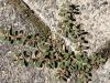 Straatwolfsmelk (Euphorbia maculata)