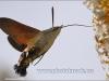 Kolibrievlinder-2