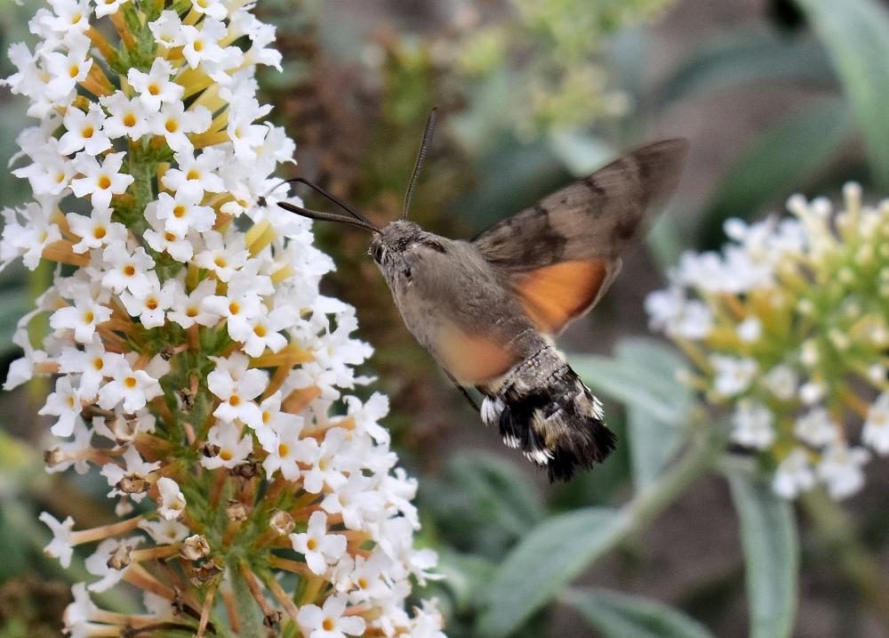 Kolibrievlinder-1