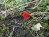 Rode Kelkzwam (Sarcoscypha coccinea)