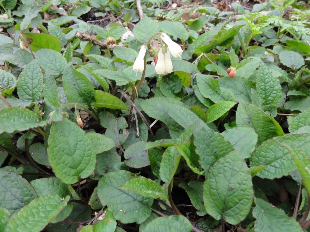 Longkruid (Pulmonaria officinalis)