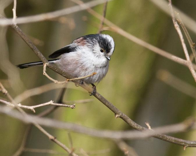 Staartmees (Vogeldagboek.nl)