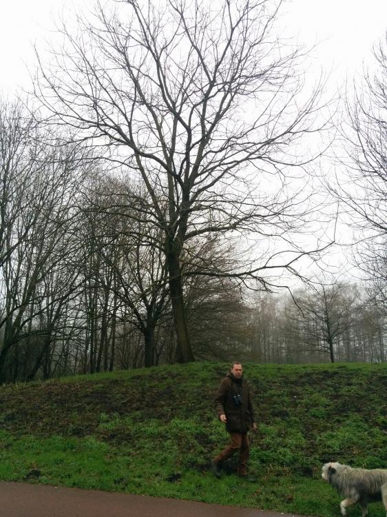 Zwarte Walnoot (Juglans nigra) (Frank Oling)
