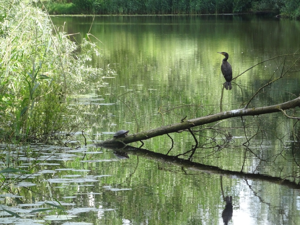 Aalscholver en Geelwangschildpad