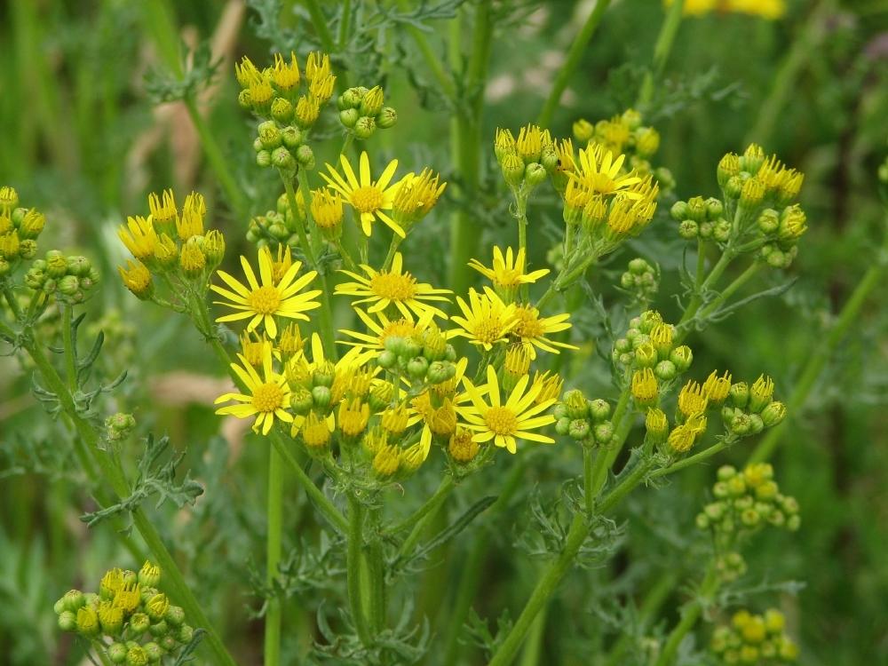 Jacobs Kruiskruid (Jacobaea vulgaris; vroeger ook Senecio Jacobaea geheten)