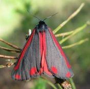 SintJacobsvlinder (Tyria jacobaea)