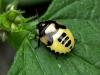 Dovenetelwants (Trigomegas bicolor)