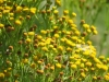 Duinkruiskruid (Jacobaea vulgaris dunensis)