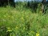 Goudgele en Witte Honingklaver (Melilotus altissimus en Melilotus albus)