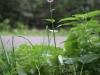 Adderwortel (Persicaria bistorta) (Rob Olleffers)