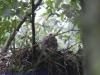 Buizerdjong op nest anno 2011