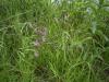 Echte Koekoeksbloem (Silene flos-cuculi)