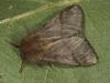 Eikenprocessierupsvlinder (Thaumetopoea processionea)