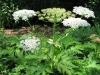 Reuzenberenklauw (Heracleum mantegazzianum)