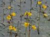 Groot-blaasjeskruid-bloeiend
