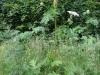 Heracleum-montegazzianum-reuzenbereklauw1-Botanische-tuin-Nijmegen-19jun16-e1529404862481
