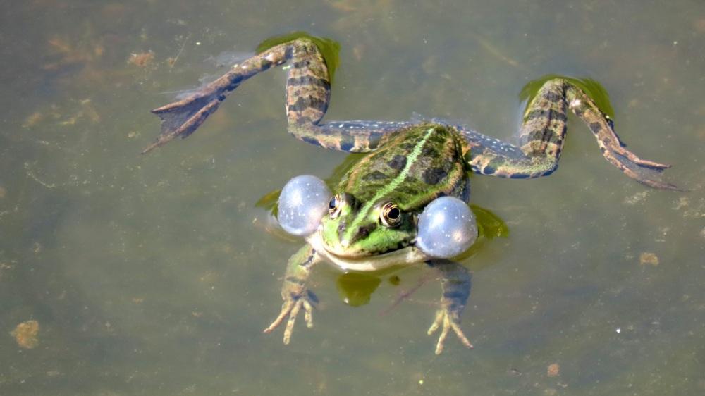 Groene-Kikker-c-scaled