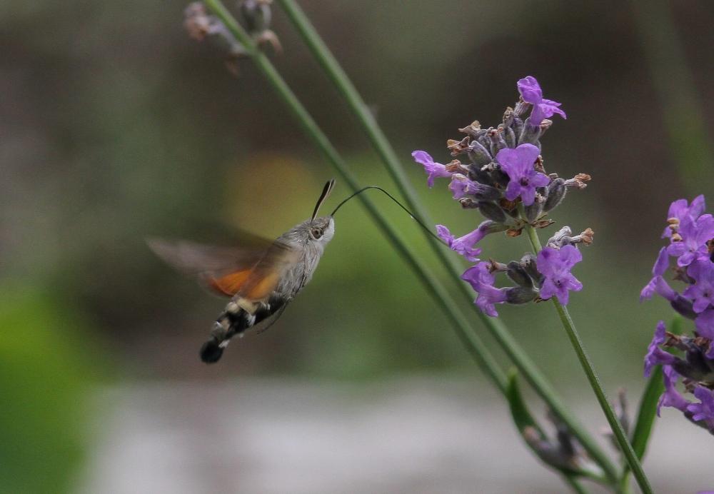 Kolibrievlinder-1243-1-scaled