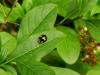 Veelkleurig-Aziatisch-Lieveheersbeestje-4-scaled