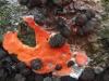 Bloedweizwam-Plasmodium