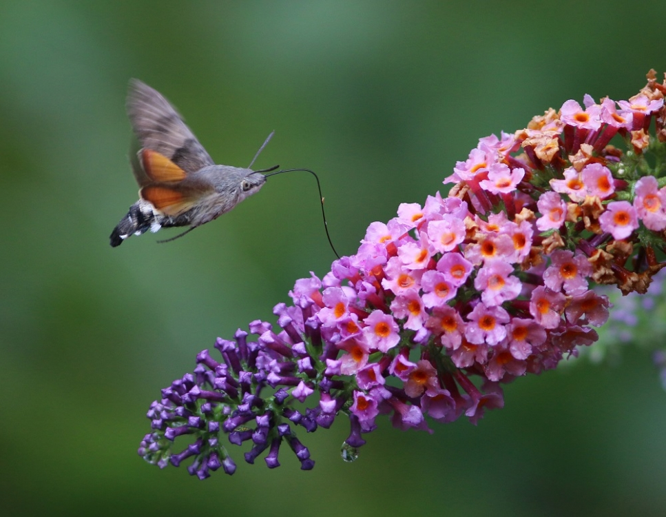 Kolibrivlinder (Macroglossum stellatarum)