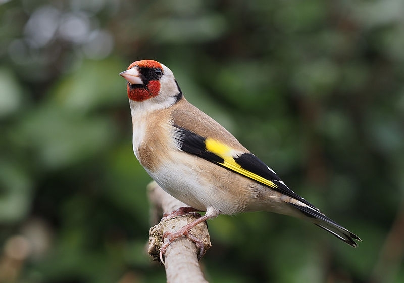 Puttertje of Distelvink (Carduelis carduelis)