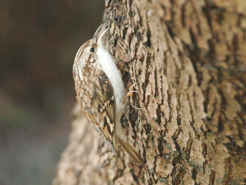 Taigaboomkruiper (Certhia familiaris familiaris)