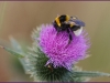 Aardhommel (Bombus lucorum)
