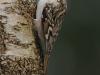 Boomkruiper (Certhia brachydactyla)