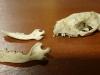Egel schedel