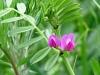 Voederwikke (Vicia sativa sativa)