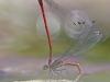 Vuurjuffer (Pyrrhosoma nymphula)