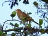 Zanglijster  (Turdus philomelos) (Louis Weterings)
