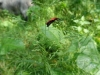 Zwartkopvuurkever (Pyrochroa coccinea)