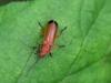 Kleine-rode-weekschild-Rhagonycha-fulva