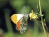 Oranjetipje-Anthocharis-cardamines-2