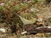 Bladkoninkje (Phylloscopus inornatus)